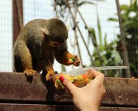 Funny monkey eats food from the hand of the girl Stock Images
