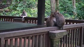 Funny monkey eats a paper in the tropical forests of Indonesia. Wild mammals on the exotic island Bali give bright impressions tourists stock video footage