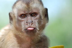 Funny monkey. Face, Maranhao, Brasil royalty free stock photography