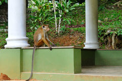 Funny monkey with a long tail, sitting in the gazebo Royalty Free Stock Images