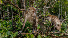 Funny Monkey looking. Funny Monkey sitting and looking around Royalty Free Stock Photography