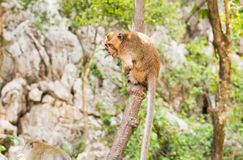 Funny monkey in a natural forest. Royalty Free Stock Image