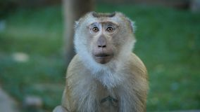 Funny monkey portrait. Rhesus macaque in tropical jungle