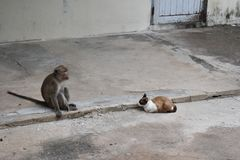 Monkey sitting on the road with a wild cats in Hua Hin, Thailand Royalty Free Stock Images