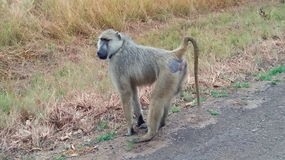 Funny monkey. A monkey stands on the road with a raised tail Royalty Free Stock Photo