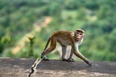 Macaca monkey outdoors Stock Photography