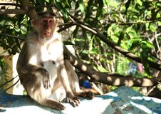 Funny Monkey with surprised face royalty free stock image