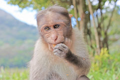 Funny monkey taken in Peruyar Stock Photography