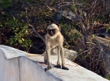Funny monkey. There are funny monkey in India, Goa Stock Photos