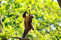 Funny monkey on tree Royalty Free Stock Image