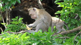 Funny monkey in the trees. Funny monkey is looking for something in the leaves Stock Photography