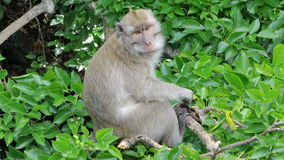 Funny monkey in the trees. Royalty Free Stock Photography