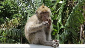 Funny monkey. The monkey waved his hand Royalty Free Stock Image