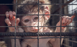 Funny monkey at the zoo Royalty Free Stock Photo