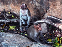 Funny monkeys in the fort of tirumayam Stock Image