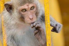 Funny monkeys Royalty Free Stock Photo