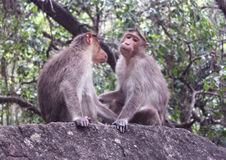 Funny monkeys on the rock Royalty Free Stock Photography