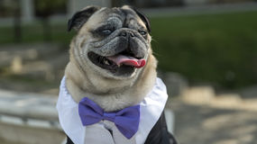 Funny mops dog. Mops dog funny with papion Royalty Free Stock Photography