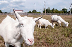 Funny mother goat. Stock Image
