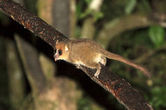 Funny mouse lemur Stock Photos