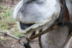 Funny mouth of a camel. Close-up. one animal very comical Stock Photography