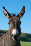 Funny mule Stock Photography