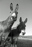 Funny mules Stock Image