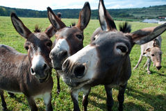 Funny mules Royalty Free Stock Image