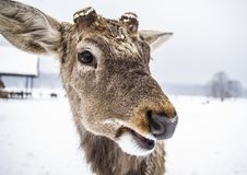 Funny muzzle of an animal deer stock images