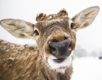 Funny muzzle deer close up stock image