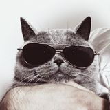 Funny muzzle of gray British cat in sunglasses Royalty Free Stock Image