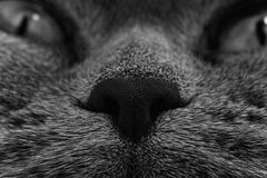 Funny muzzle of gray cat Stock Photography