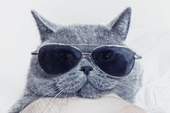 Funny muzzle of gray cat in sunglasses Royalty Free Stock Photo