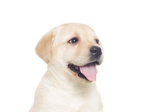 Funny muzzle Labrador puppy Royalty Free Stock Photography