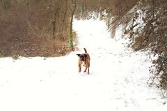 Run my friend. Funny with my dog in the middle of the snowy forest Royalty Free Stock Photo