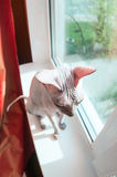 Funny naked cat sitting on window sill Royalty Free Stock Photography