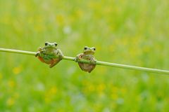 Funny nature. Two European tree frog, Hyla arborea, sitting on grass straw with clear green background. Nice green amphibian in na. European tree frog, Hyla royalty free stock photo