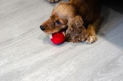Funny, funny and naughty dog breed Cocker Spaniel tore a toy.  royalty free stock photo