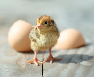 Funny newborn chick hatched from an egg Stock Images