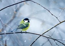 Nice bird the bird sits hunched on a branch in winter fore. Funny nice bird the bird sits hunched on a branch in winter forest in the snow Stock Photos
