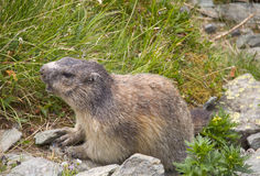 Funny nice marmot in Alps Royalty Free Stock Photography
