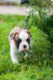 Funny nice red American Bulldog puppy on nature. Funny nice red white American Bulldog puppy is running on nature. Puppy`s acquaintance with nature Stock Photography