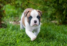 Funny nice red American Bulldog puppy is walking on the grass. Funny nice red white American Bulldog puppy is walking on the grass. Puppy`s acquaintance with Royalty Free Stock Images