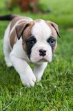 Funny nice red American Bulldog puppy is walking on the grass. Funny nice red white American Bulldog puppy is walking on the grass. Puppy`s acquaintance with Stock Photos