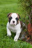 Funny nice red American Bulldog puppy is walking on the grass. Funny nice red white American Bulldog puppy is walking on the grass. Puppy`s acquaintance with Stock Photography
