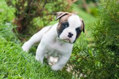 Funny nice red American Bulldog puppy is walking on the grass. Funny nice red white American Bulldog puppy is walking on the grass. Puppy`s acquaintance with Royalty Free Stock Image