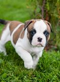 Funny nice red American Bulldog puppy is walking on the grass. Funny nice red white American Bulldog puppy is walking on the grass. Puppy`s acquaintance with Stock Images