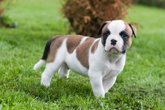 Funny nice red American Bulldog puppy is walking on the grass. Funny nice red white American Bulldog puppy is walking on the grass. Puppy`s acquaintance with Royalty Free Stock Photos