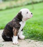 Funny nice red tiger coat American Bulldog puppy is walking on nature. Funny nice red tiger coat American Bulldog puppy is walking on the grass. Puppy`s Stock Photography