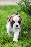 Funny nice red American Bulldog puppy on nature. Funny nice red white American Bulldog puppy is running on nature. Puppy`s acquaintance with nature Royalty Free Stock Image